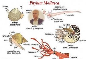 MOLLUSCA- PHYLUM[11]